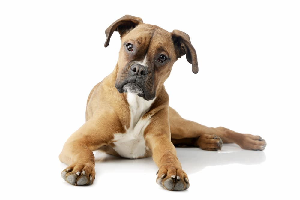 Boxer puppy lying down